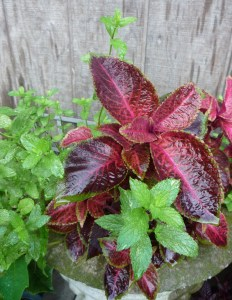 Coleus and mint