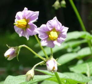 Potatoes in bloom.