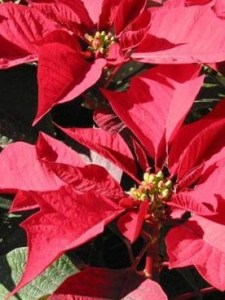 Bright, filtered light and moderate water keep a poinsettia happy for months.