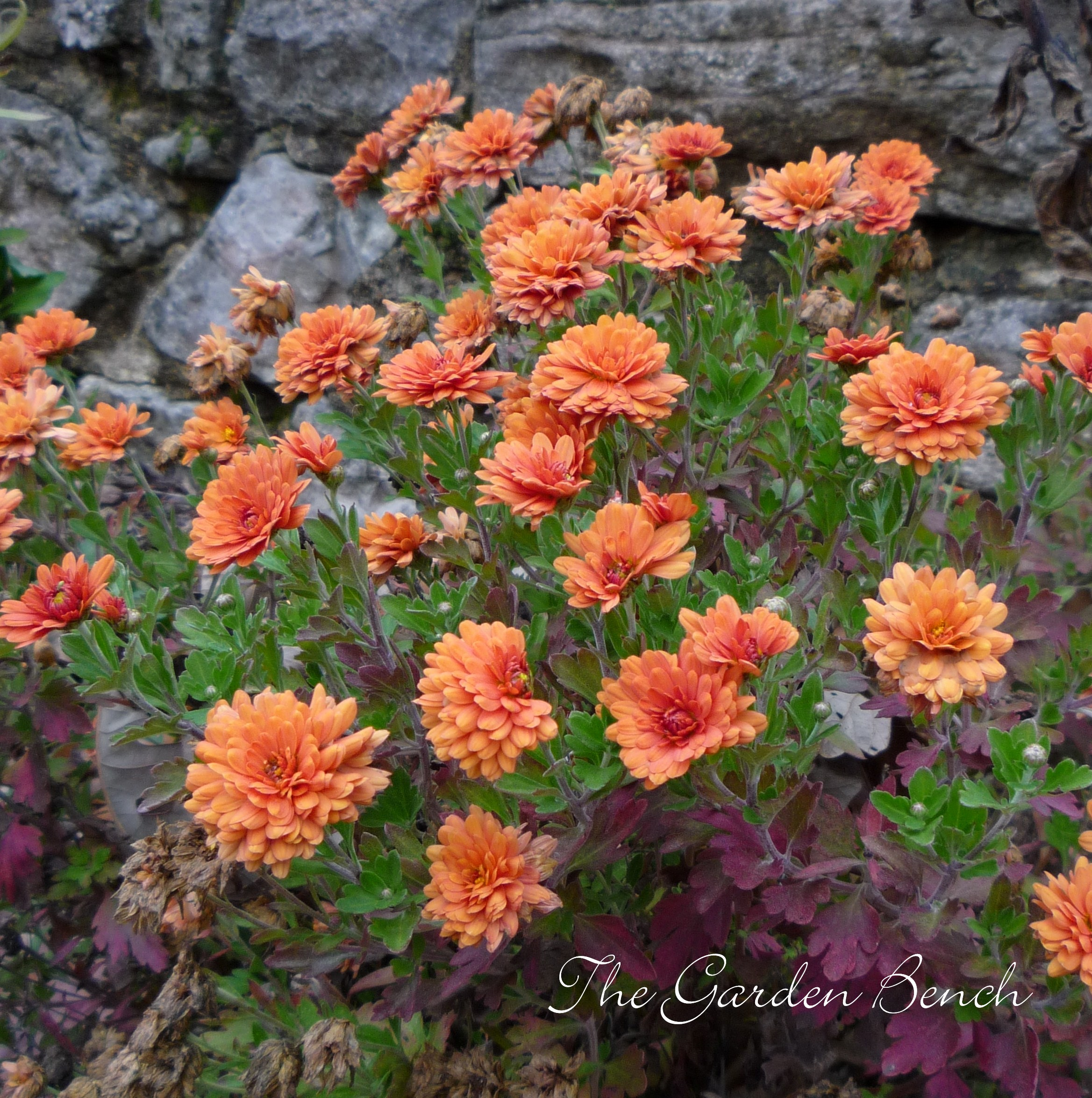 Fall gardening the garden bench different sources say different things about what to do with mums after they are browned by frost one source advises to cut them back in the spring izmirmasajfo