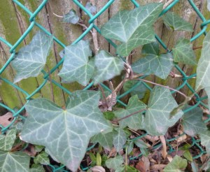 English ivy is good for covering ugly fences; not so great when it climbs up into trees.