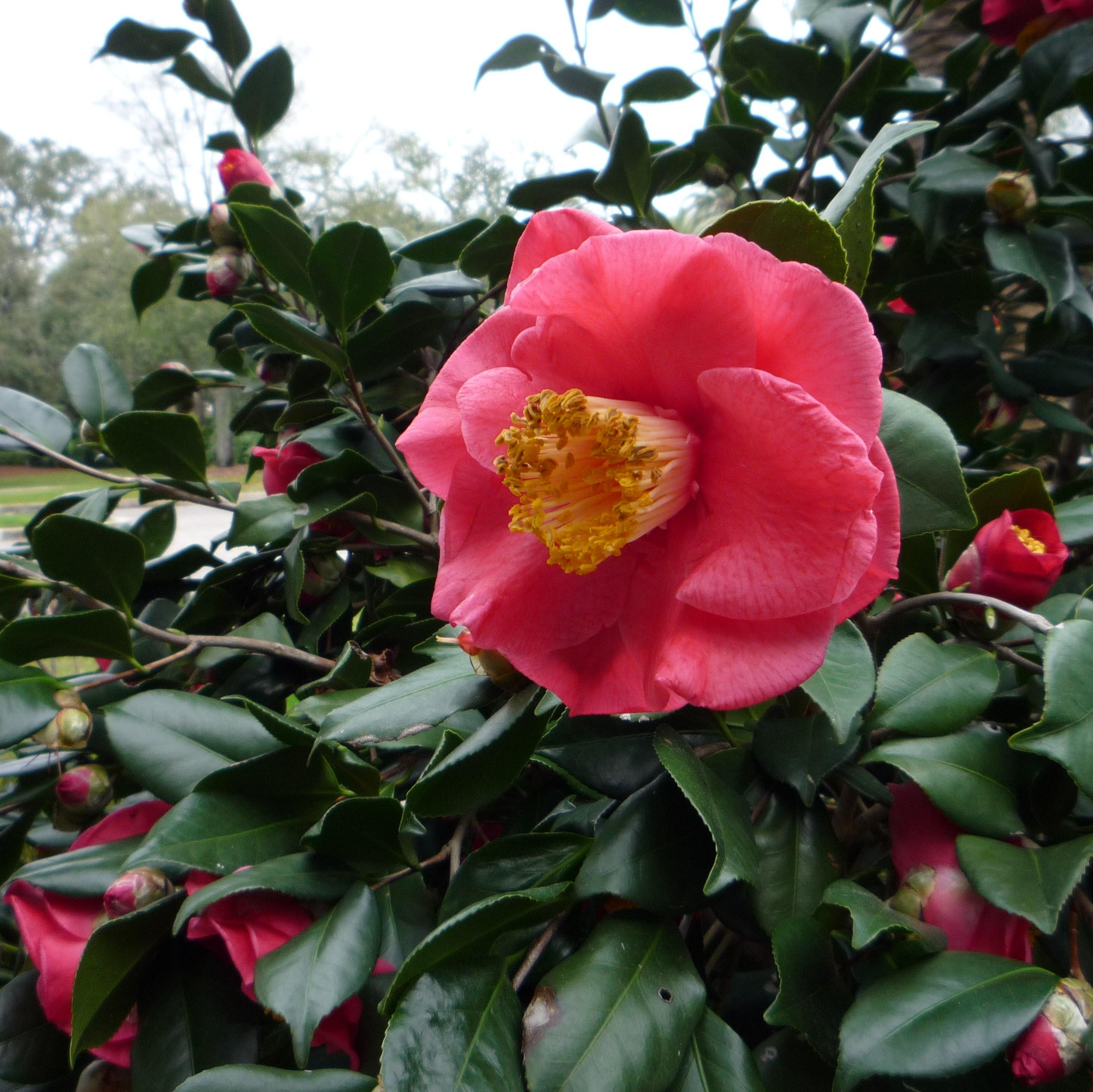 F Camelli Moving a camellia | Th...