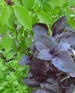 Grow three types of basil for an attractive container combination.