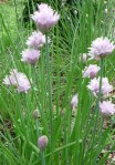 gb Chives