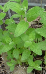 Mint is a good choice for a container herb garden.