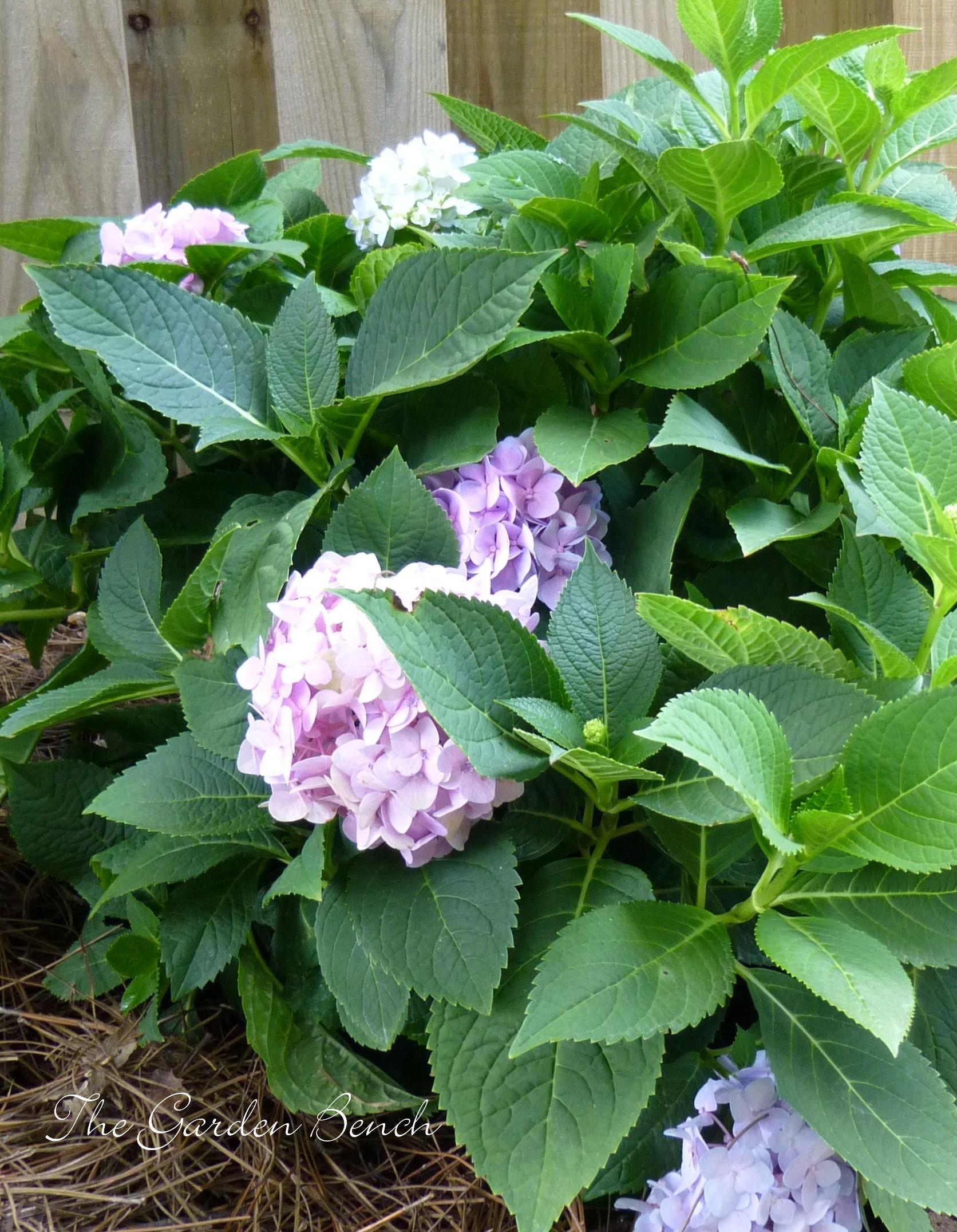 Hydrangeas Color Codes The Garden Bench