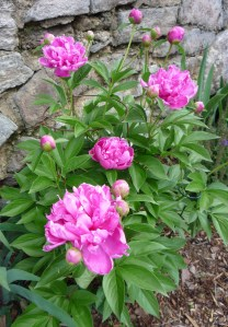 Peonies may develop botrytis, a fungal blight, in cool, wet weather.