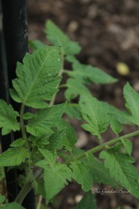 Young tomato plants are vulnerable to aphid infestation.