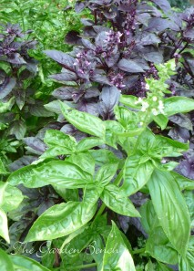 You can bring basil indoors to grow during winter.