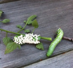 A tobacco hornworm covered with wasp cocoons, and one without.