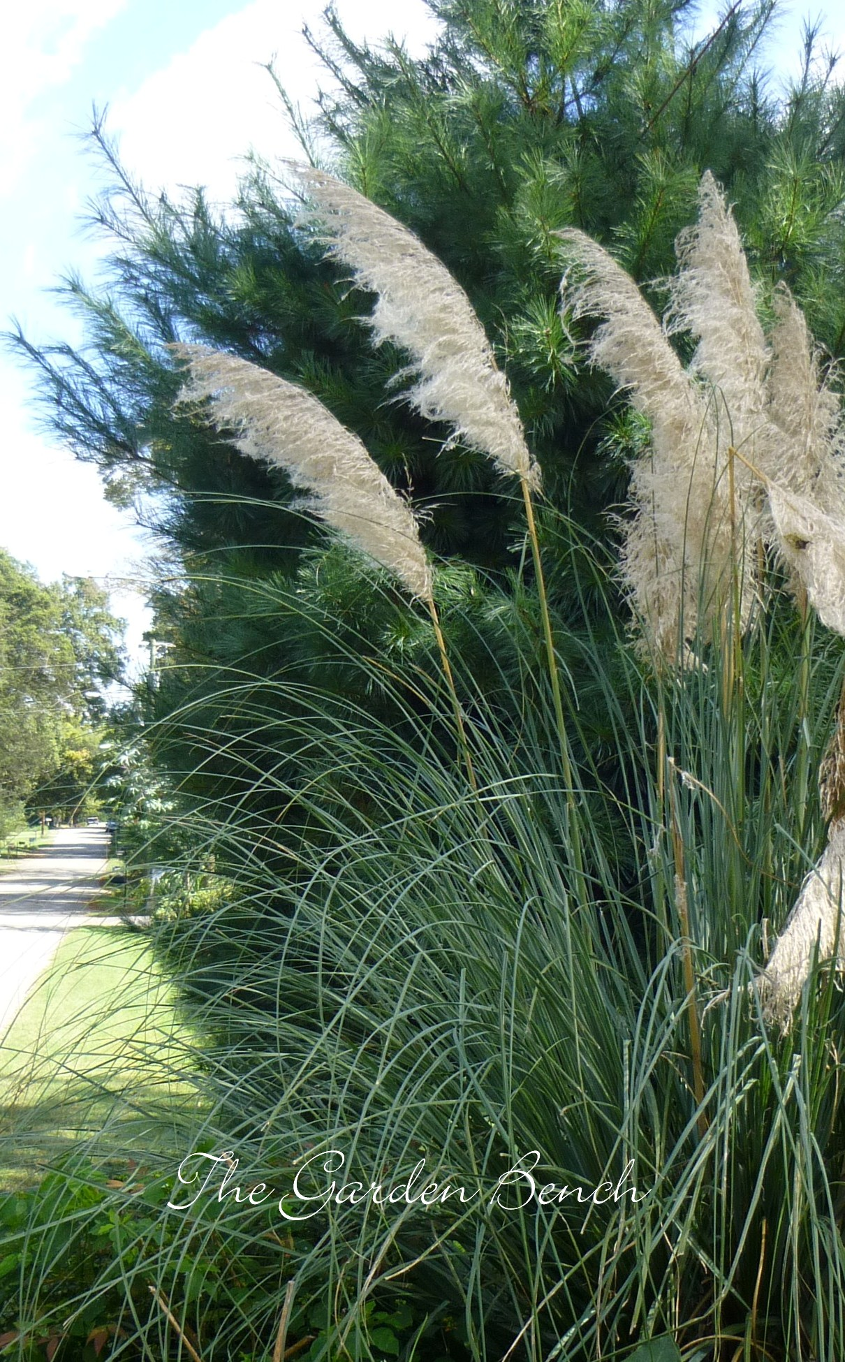 Pampas grass has lost its plumes the garden bench for Ornamental grasses with plumes