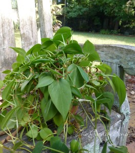 philodendron outdoors