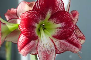 'Flamenco Queen' amaryllis is from Colorblends.
