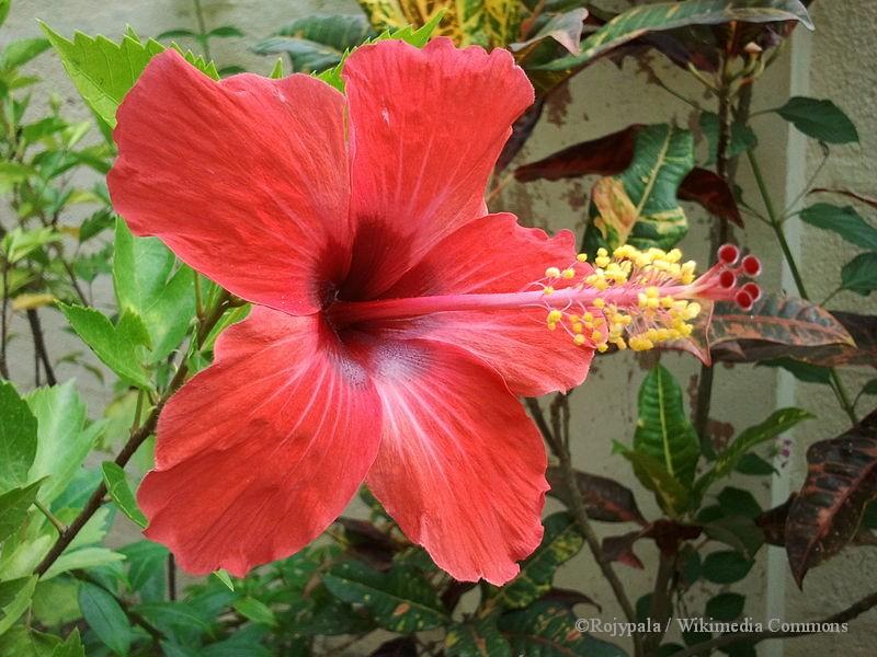 Tropical Hibiscus Adjusts To Winter Indoors The Garden Bench