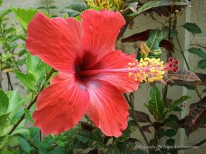 Hibiscus c Rojypala wikimedia commons