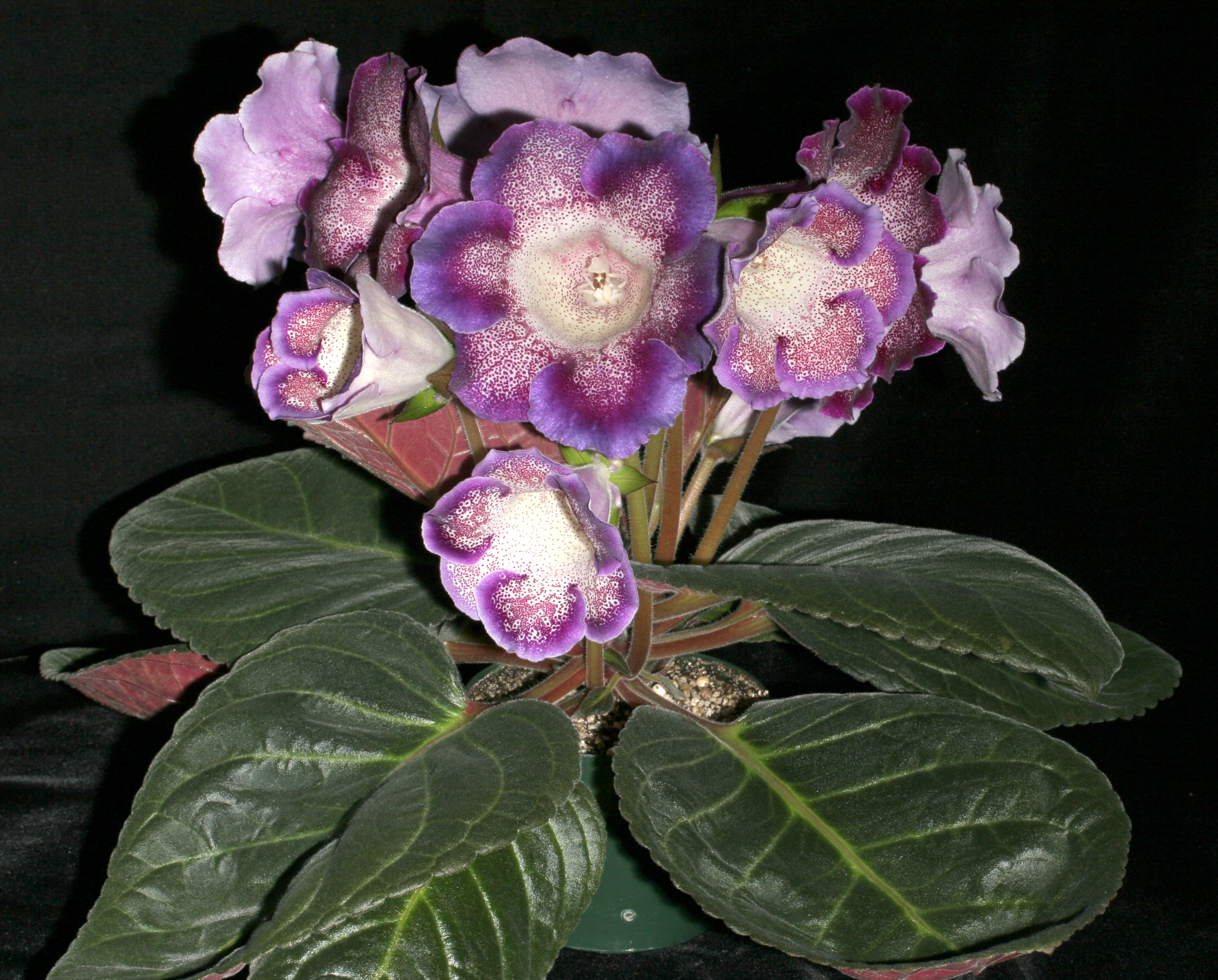 How to grow gloxinia