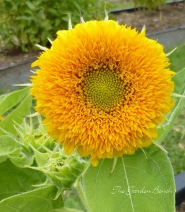 Sunflower Teddy Bear for Garden Bench