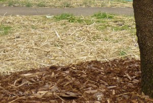 Lawn repair wheat straw