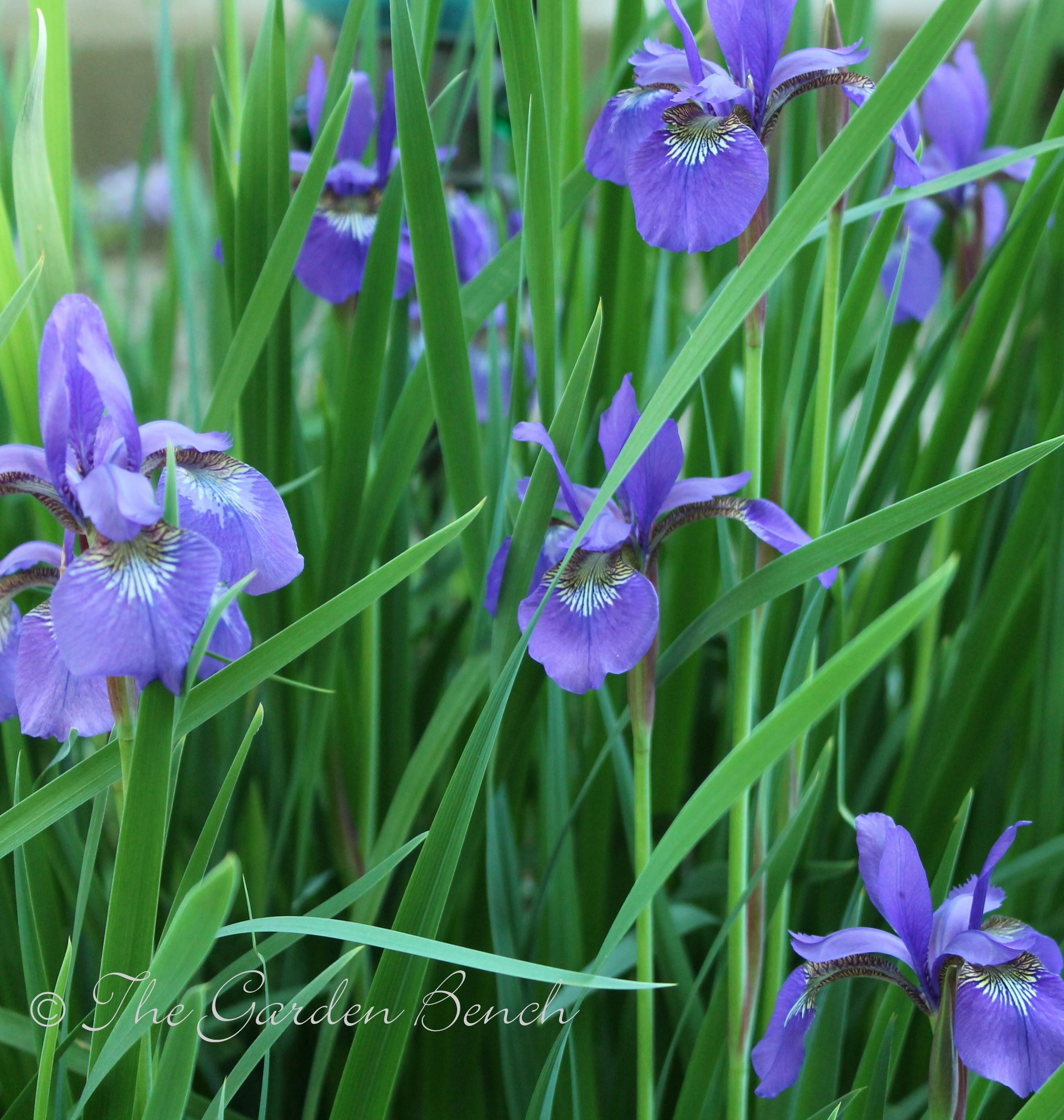 When will siberian irises bloom the garden bench siberian iris izmirmasajfo Choice Image