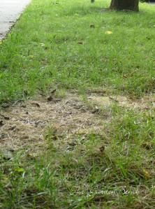 Grass brown patch