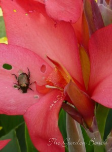 Japanese beetle feeds on canna flowers.