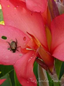 Japanese beetle feeds on canna flowers.