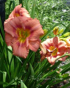 Daylilies are among the perennials that can be planted now.