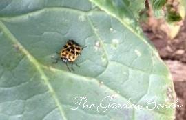 Harlequin bug copy