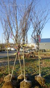 ball burlap trees
