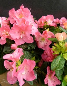 Florist azaleas