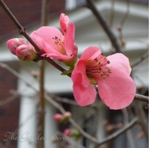 Branches of flowering quince can be coaxed to bloom indoors.