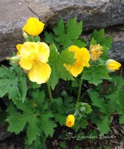 Celandine poppy