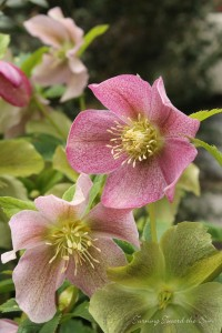 Hellebores The Garden Bench