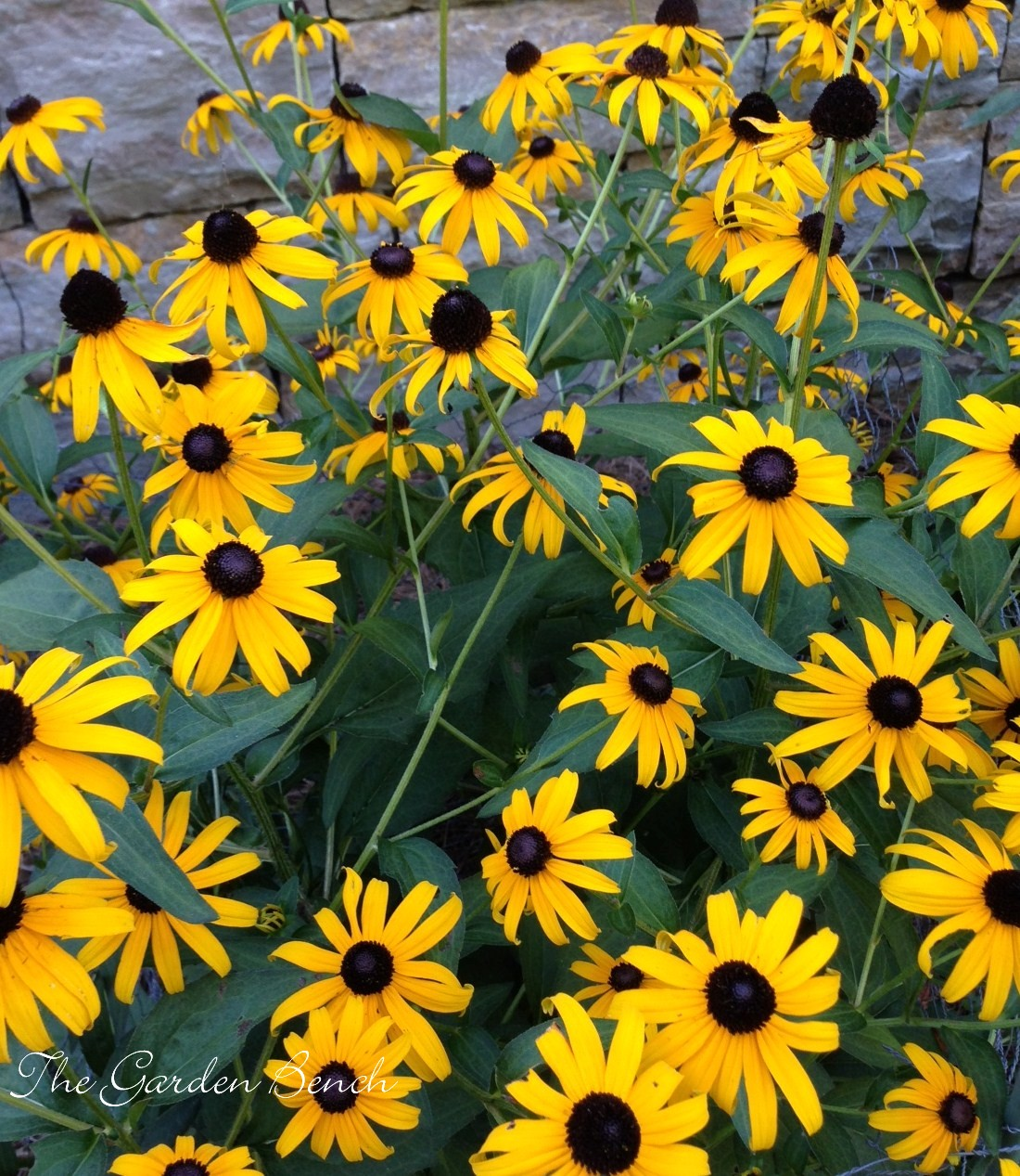 Black Eyed Susans The Garden Bench