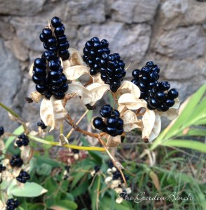 Black berry lily