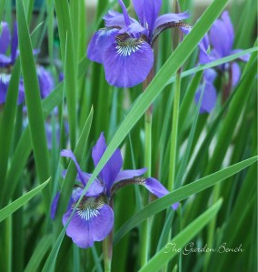 Siberian iris cropped