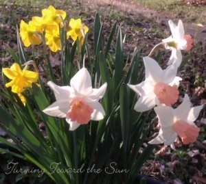 Enjoy daffodils in the garden, but cut some to bring inside, too.