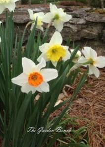 Daffodil copy