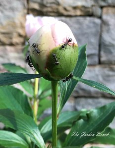Ants crawl on peonies
