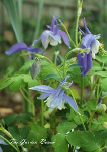 Although it self-seeds, columbine is a short-lived perennial.