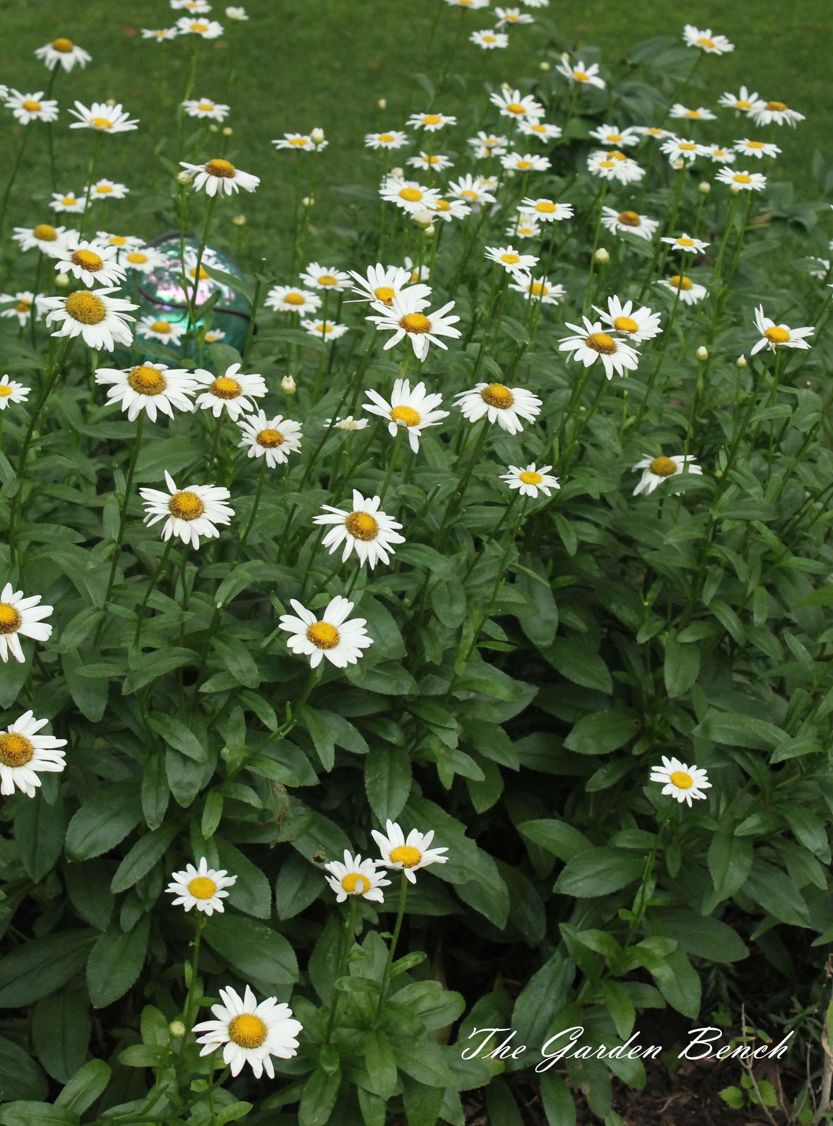 Shasta Daisy The Garden Bench