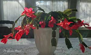 holiday-cactus-thanksgiving