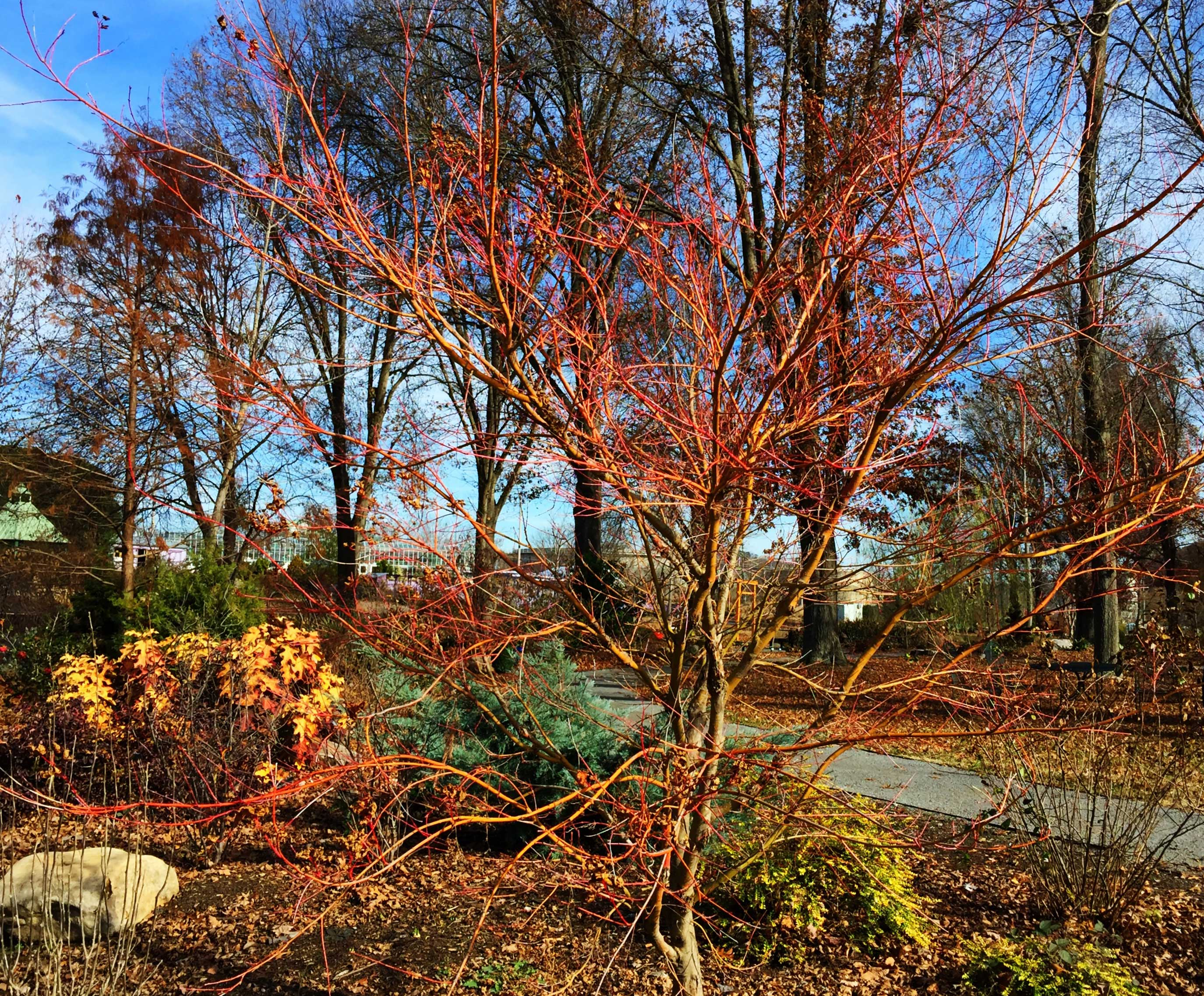 Japanese Maples Stand Out In Winter The Garden Bench