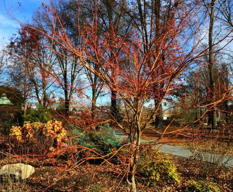 acer-palmatum-from-utia-for-web