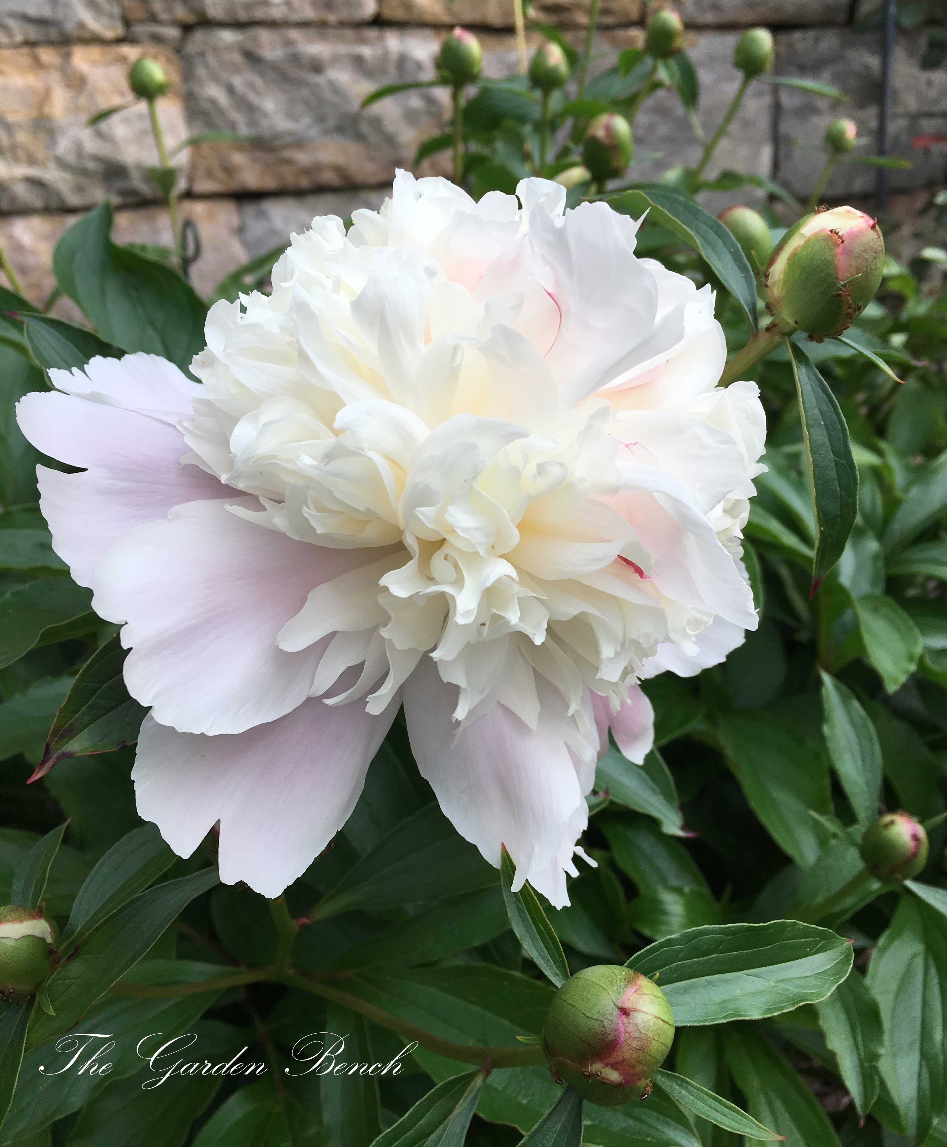 Care For Peonies After They Bloom The Garden Bench