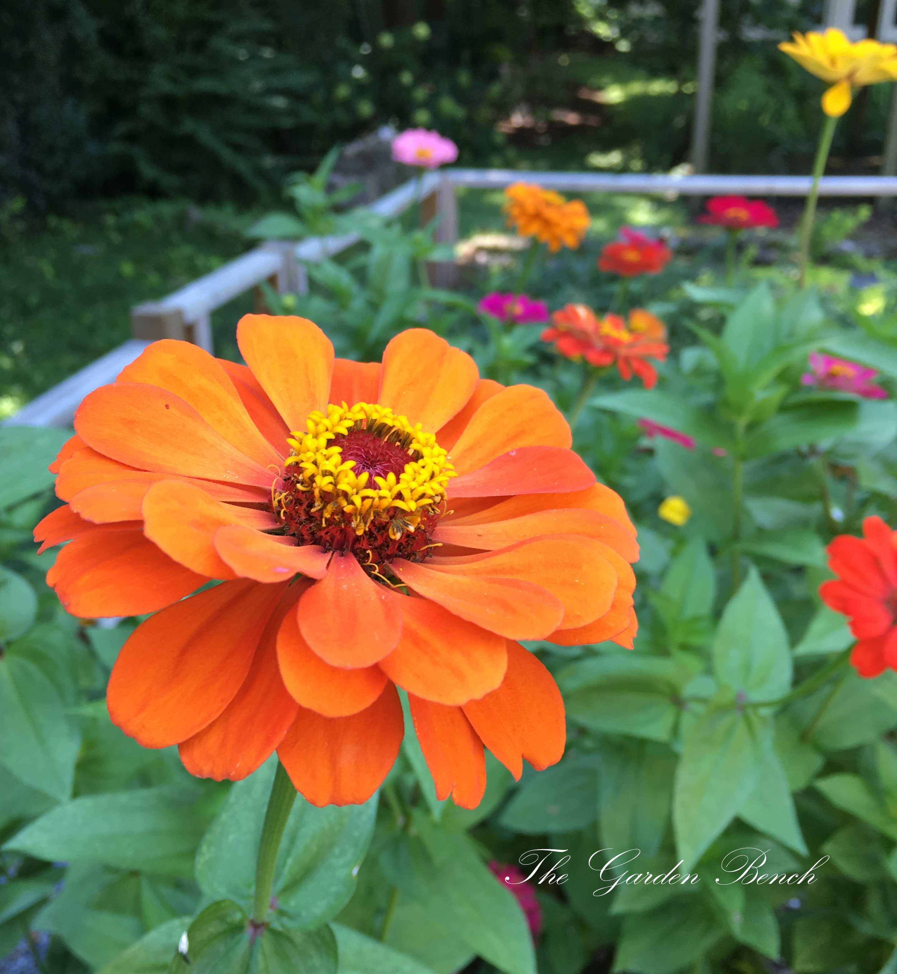 Majors flowers: growing zinnia at home from seed and caring for a plant 17